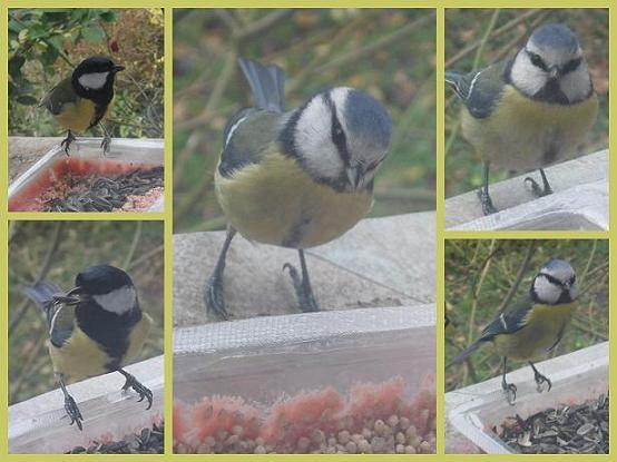 Mesanges-12-2011-et-01-20121 dans Nature (Faune et flore)