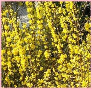 Forsythia-23-03-2012-horz dans Sal