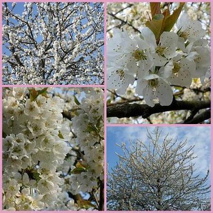 Cerisier-05avril2012