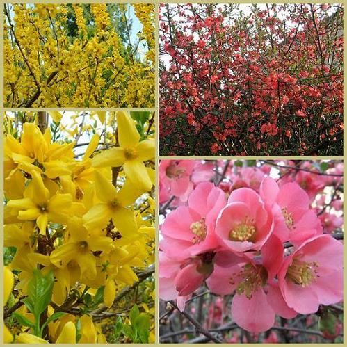 Forsythia-et-Cognassier-du-Japon-05avril2012 dans Nature (Faune et flore)