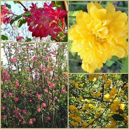 Groseiller-a-fleurs-et-Pompons-05avril2012