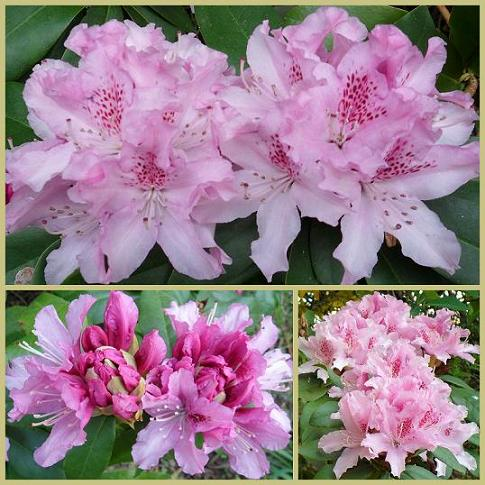 Rhododendron-07avril2012