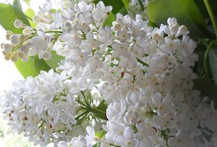 Llilas-blanc