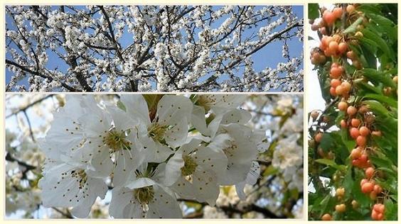 Miss Cerise dans Animaux (mes félins) Cerisier-2012-horz