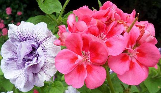 Petunia-Tumbellina-et-Pelargonium-Costa-Brava-21juillet2012