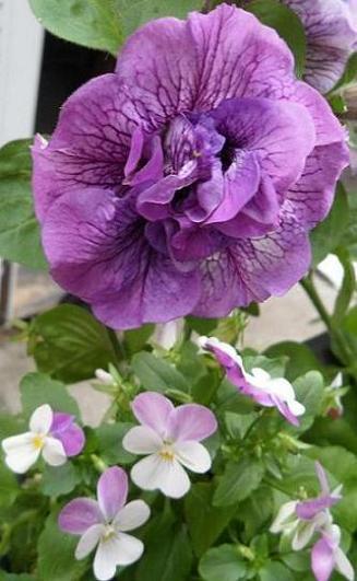 Petunia-Tumbellina-et-viola-Age-Tendre-21-07-20121
