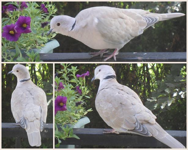 Tourterelle-Turque-18-07-2012 dans Nature (Faune et flore)
