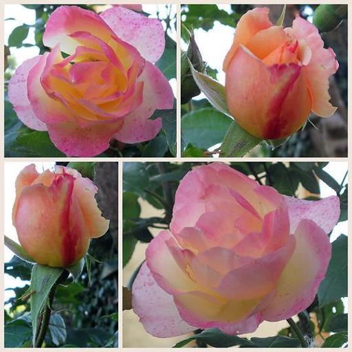 Roses-Madame-Meilland-Aout2012 dans Nature (Faune et flore)